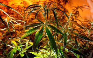 Brad Poulos - Cannabis Business Expert photo of Recreational Cannabis in Canada