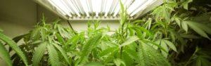 Task Force on cannabis